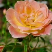 Розы Хани Банч