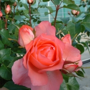 Розы Жардинс де Франс