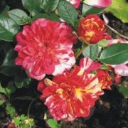 Розы Бигуди