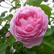 Розы Джо Гамильтон