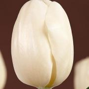 Тюльпаны Пакс