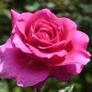 Розы Биг Эппл
