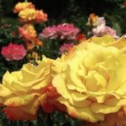 Розы Рио Самба