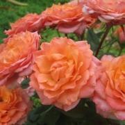 Розы Импала Кордана