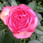 Розы Вальцертраум