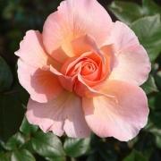 Розы Реконсилиэйшен
