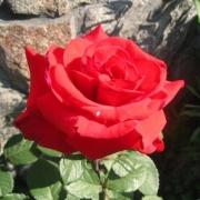 Розы Ред Берлин