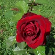 Розы Шварце Мадонна