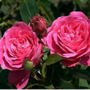 Розы А Каен ла Паикс