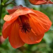 Комнатные растения Абутилон