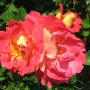 Розы Декор Арлекин