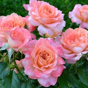Розы Самаритан
