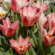 Тюльпаны Рози Дрим