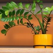 Комнатные растения Замиокулькас