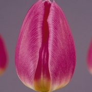 Тюльпаны Доккум