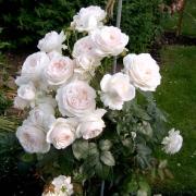 Розы Себастьян Кнайп