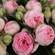 Розы Чарминг Пиано