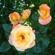 Розы Марибел