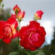 Розы Гетано