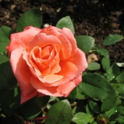 Розы Катрин Денев