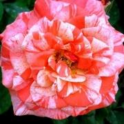 Розы Филипп Канделоро