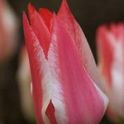 Тюльпаны Царь Петр