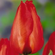 Тюльпаны Лалибела