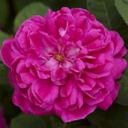 Розы Роуз Де Решт