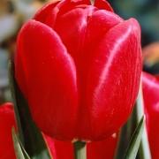 Тюльпаны Роял Мастер