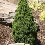 Picea GlaukaKonika