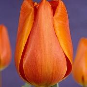 Тюльпаны Анни Шилдер