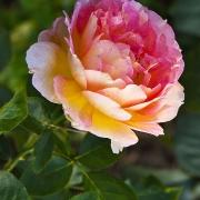 Розы Ла Парисьенн