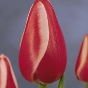 Тюльпаны Тойота