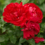 Розы Фейсфул