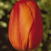 Тюльпаны Дилленбург