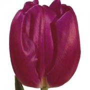 Тюльпаны Перпл Флаг