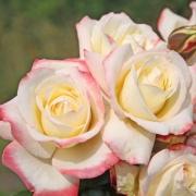 Розы Атена (2014)