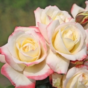 Les roses Atena (2014)