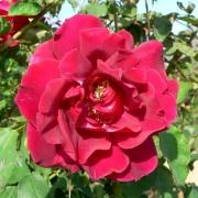 Розы Этоли де Холланд