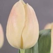 Тюльпаны Уибо
