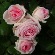 Розы Хистори