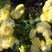 Розы Голден Кавер