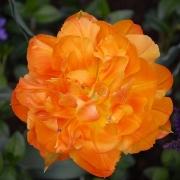 Тюльпаны Орка