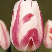 Тюльпаны Сорбет