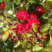 Розы Ред Фэйри