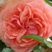 Розы Альбрехт Дюрер