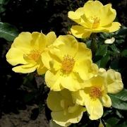 Розы Йеллоу Флюретте