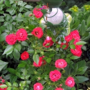 Розы Гигглз