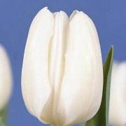 Тюльпаны Голту
