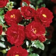 Розы Цвергкониг 78